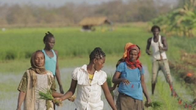 Rice Farmers in Ethiopia