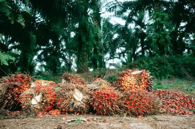 Harvested oil palm fruit